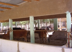 elevage-vache